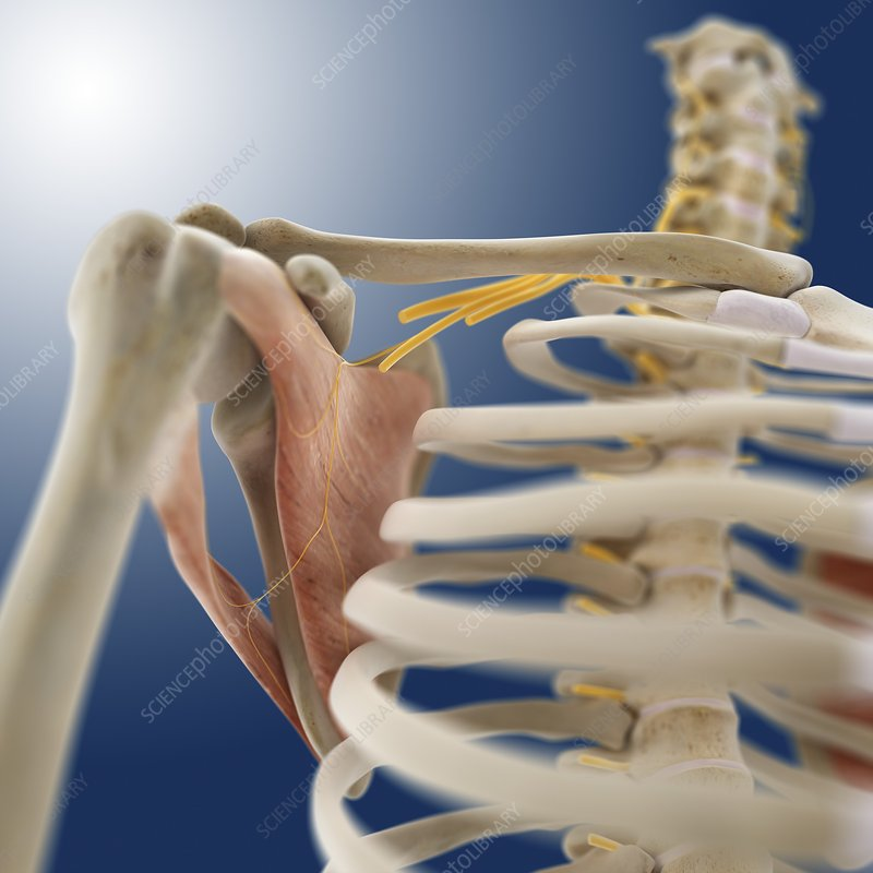 Shoulder muscle, artwork