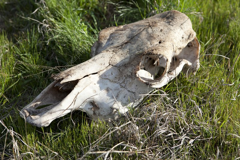Cow skull, New South Wales, Australia
