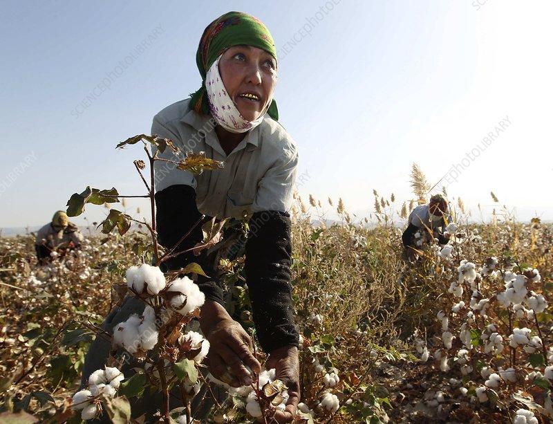 Women harvesting cotton, Turkmenistan