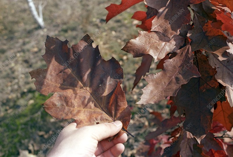 Tree near Chernobyl with large leaves