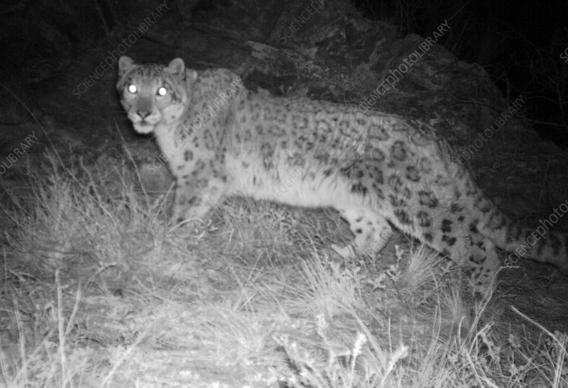 Snow Leopard At Night Stock Image C014 5508 Science