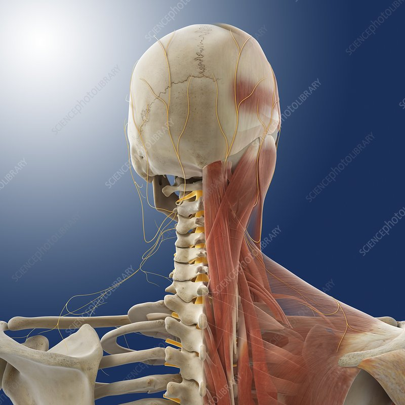 neck muscles and nerves, artwork - stock image - c014/5559 - science photo  library