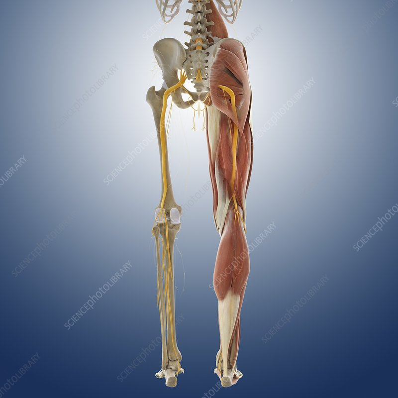 Lower Body Anatomy Artwork Stock Image C0145581 Science