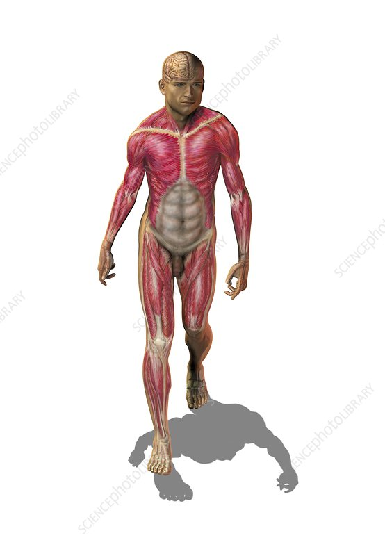 Superficial human muscles, artwork