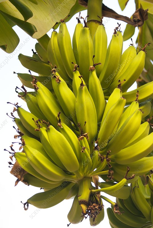 Bananas growing in a street in Spain