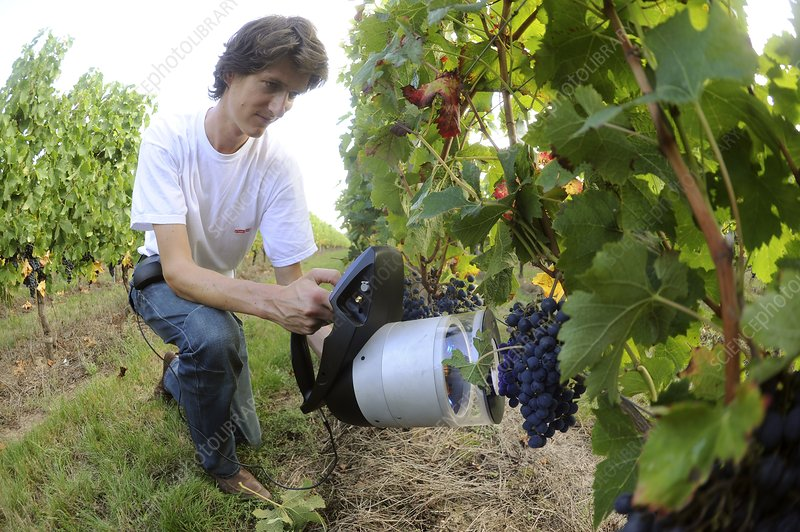 Measuring the maturity of grapes