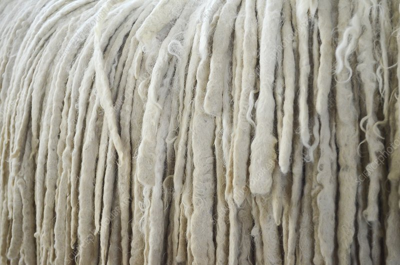 Komondor's coat close up