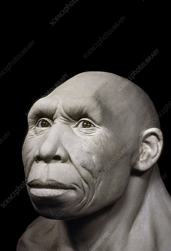Homo georgicus head model