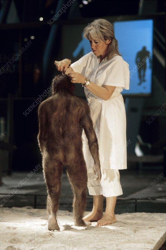 reconstructing australopithecine lucy