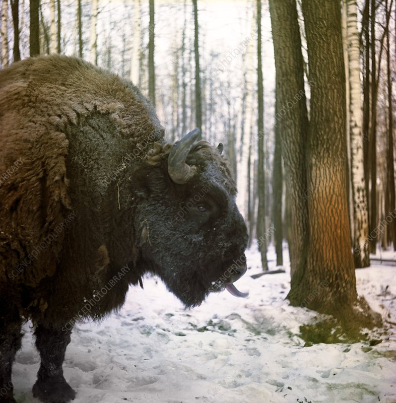 European bison in a reserve, Russia