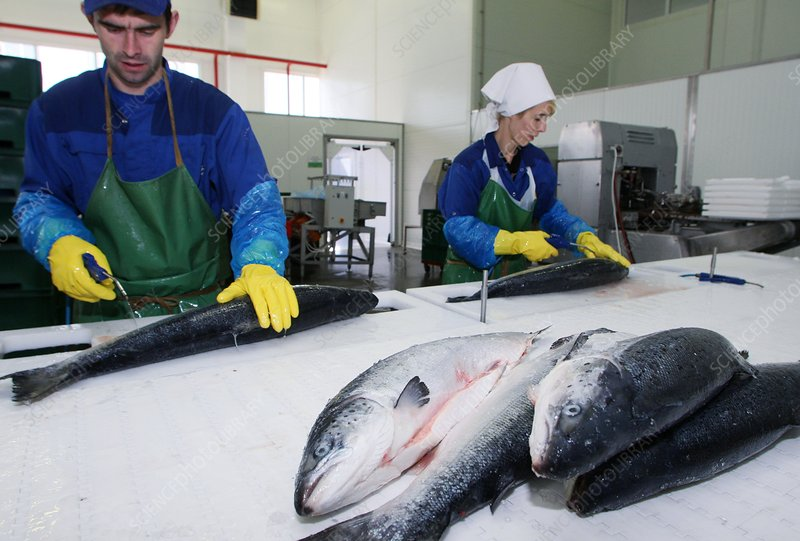 Salmon being gutted at factory