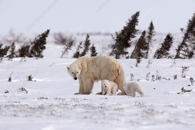 Polar bear mother and cubs