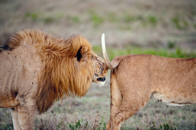 African lion in oestrus