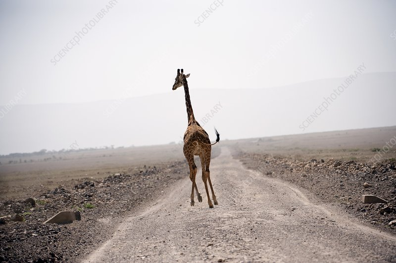 Giraffe running over a road