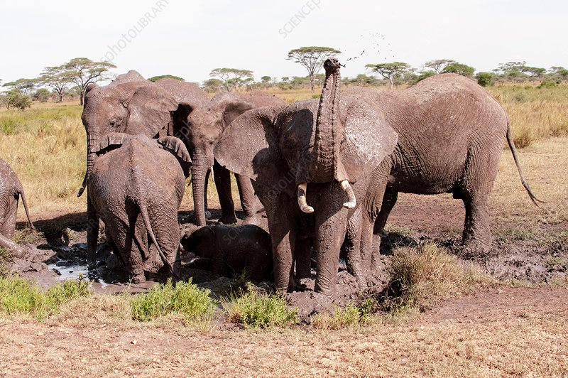 African elephant family at a mud bath