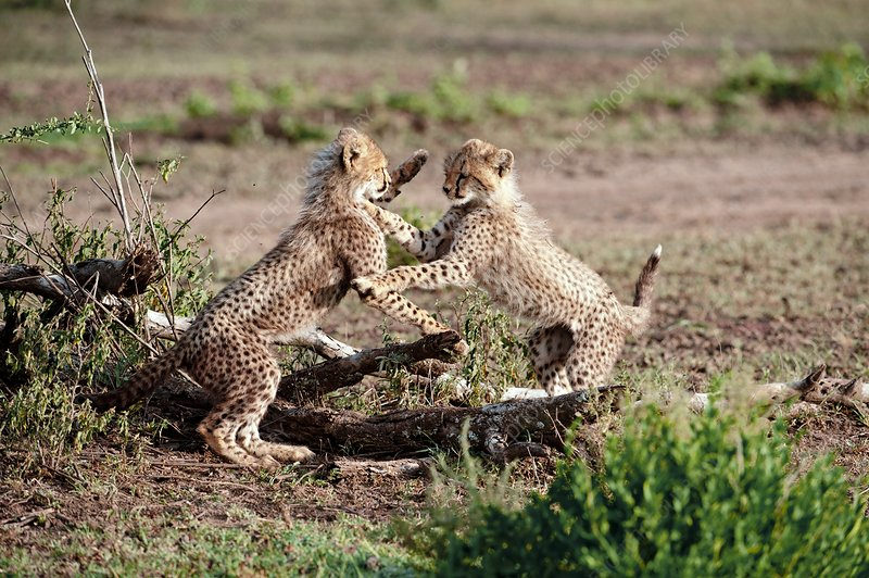 Cheetah cubs playfighting