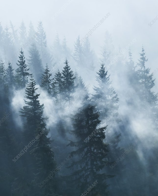 Dawn mist over conifer forest
