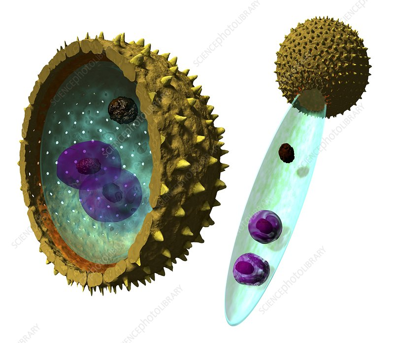 Pollen cell structures  artwork  Stock Image C0147178