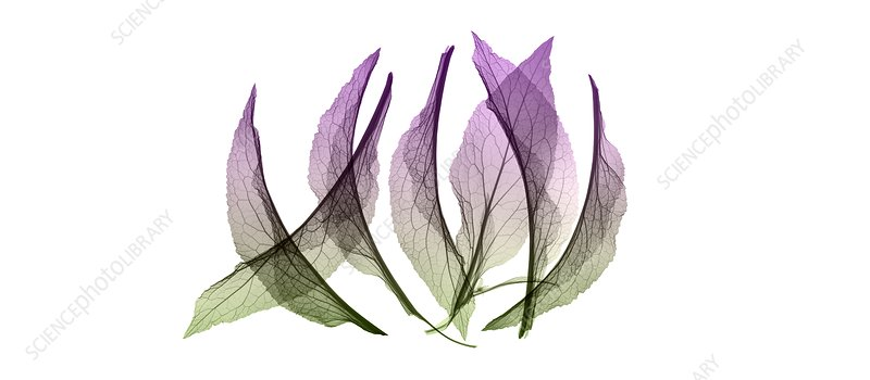Foxglove (Digitalis sp.) leaves, X-ray
