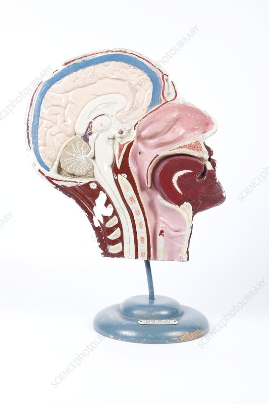 Human head, historical anatomical model