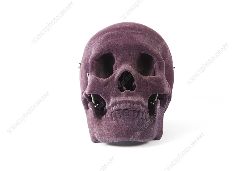 Velvet skull, anatomical model