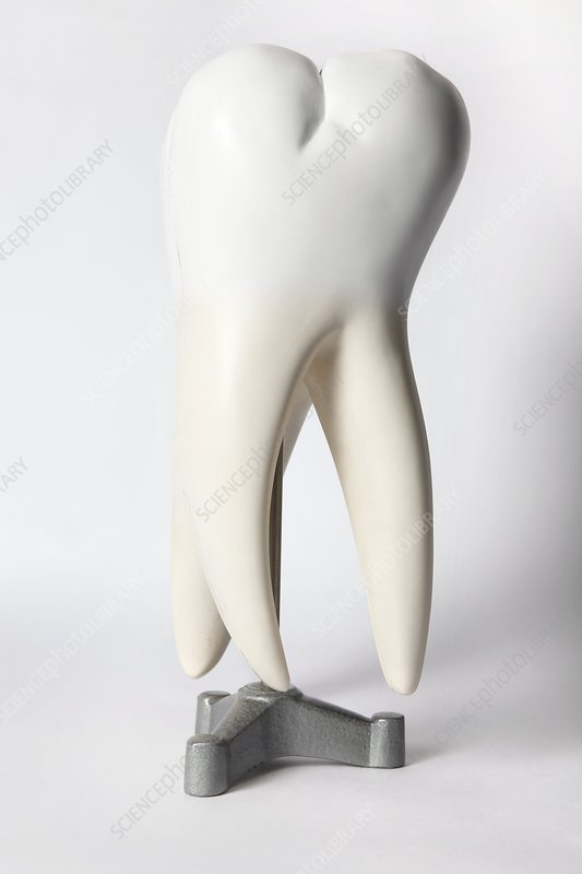 Human tooth, historical anatomical model