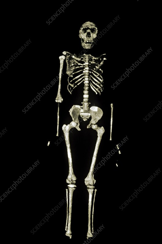 Turkana Boy skeleton - Stock Image - C014/7421 - Science Photo Library