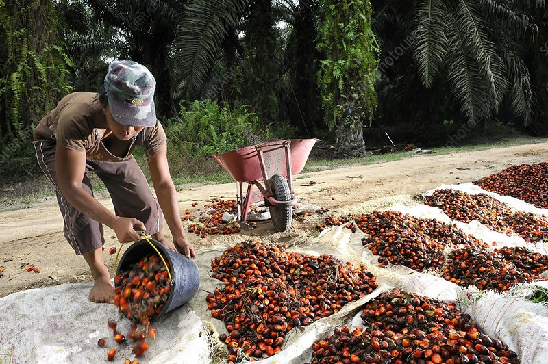 Oil palm plantation, Indonesia