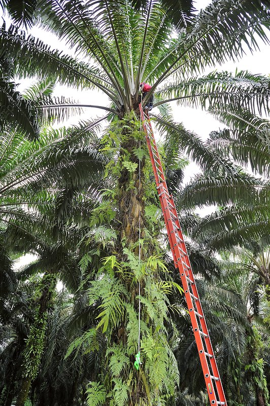 Oil palm plantation research, Indonesia