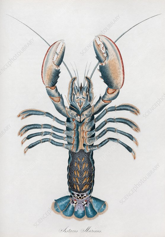 Lobster, 19th century