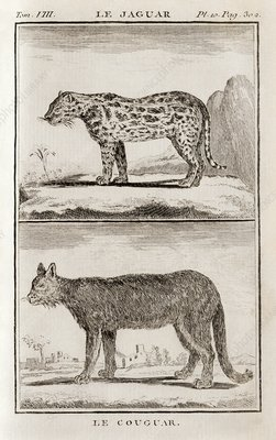 Jaguar and cougar, 18th century