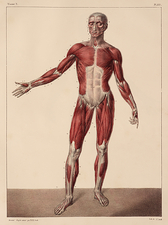 Whole body musculature, 1831 artwork