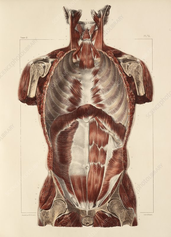 Trunk muscle anatomy, 1831 artwork - Stock Image C014/7817 - Science ...