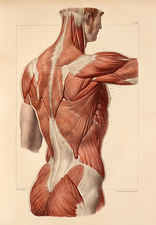 Superficial back muscles, 1831 artwork