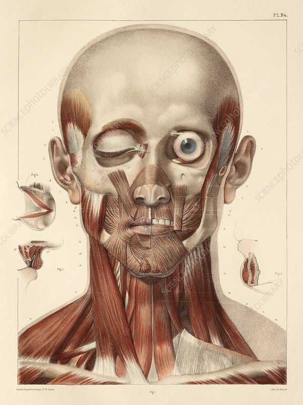 Face and neck muscles, 1831 artwork