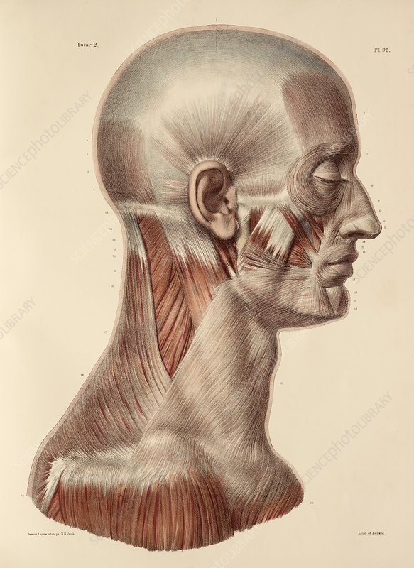 Head and neck muscles, 1831 artwork