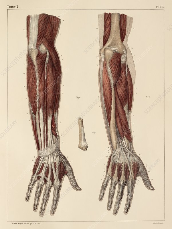 Muscles Of The Forearm 1831 Artwork Stock Image C0147829