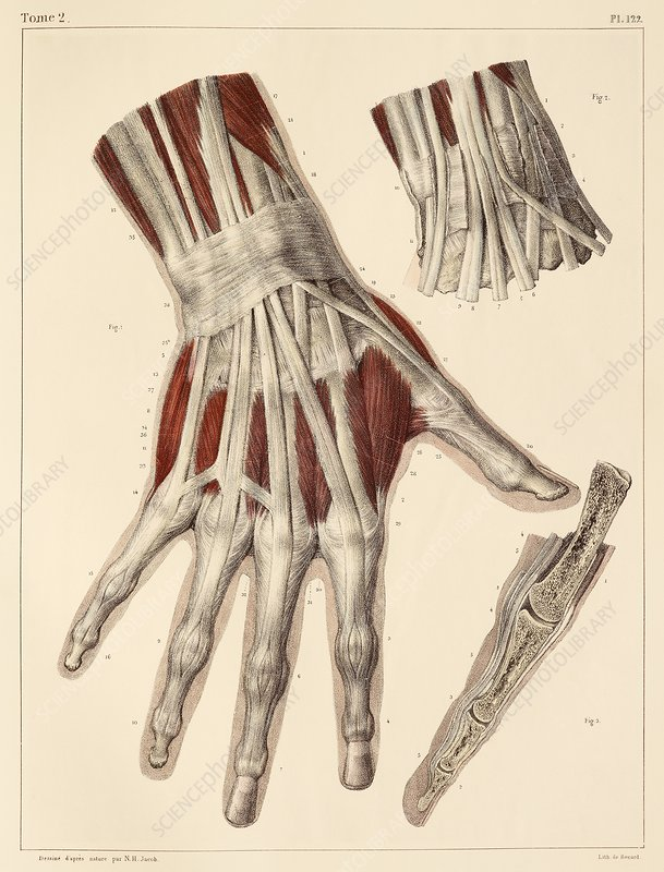 hand muscle anatomy, 1831 artwork - stock image c014/7830, Muscles