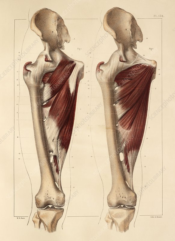 Thigh muscle anatomy, 1831 artwork