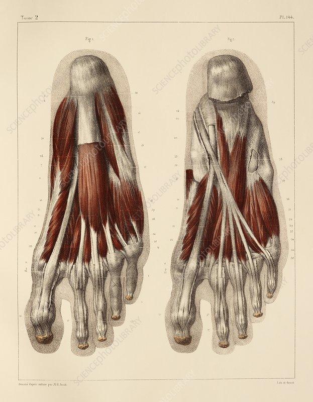 Plantar Foot Muscles 1831 Artwork Stock Image C0147835