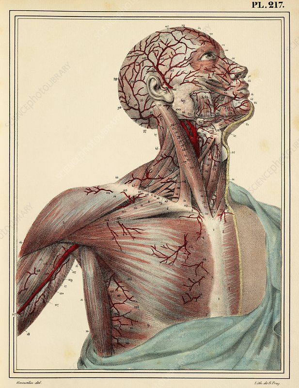 Head and chest arteries, 1825 artwork