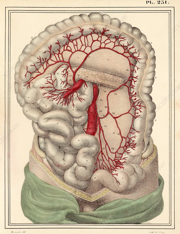 Intestinal arteries, 1825 artwork