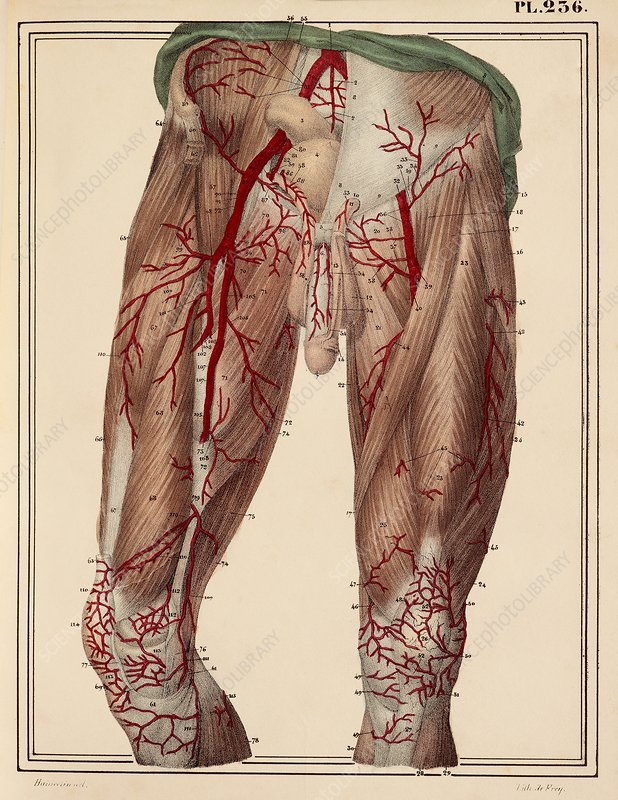 Arteries of the thigh, 1825 artwork