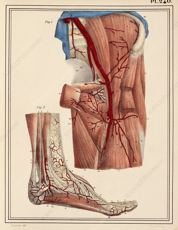 Femoral and foot arteries, 1825 artwork