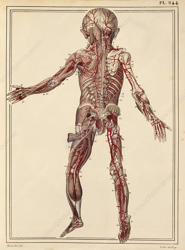 Child's arteries, 1825 artwork