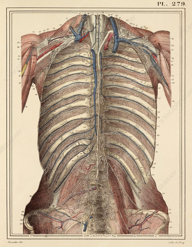 Chest lymph vessels, 1825 artwork