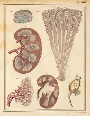 Kidney anatomy, 1825 artwork