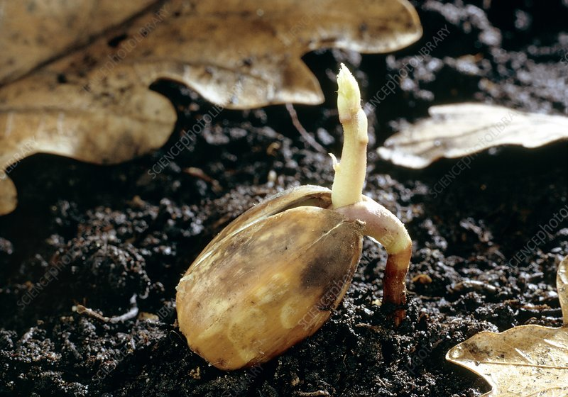 Oak (Quercus robur) acorn germinating