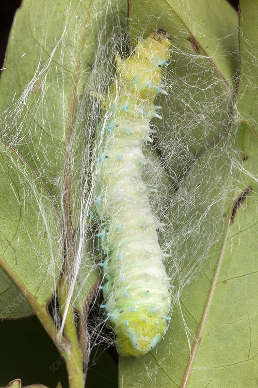 Silkmoth larva spinning a cocoon