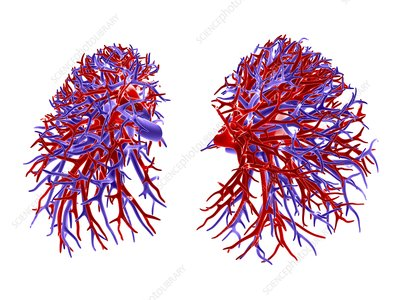 Lung blood vessel, artwork
